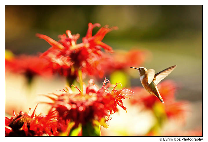 Hummingbird in flight at wedding