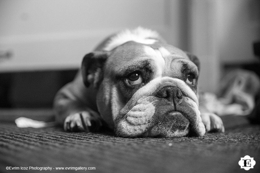 Sad Portland Puppy BUlldog